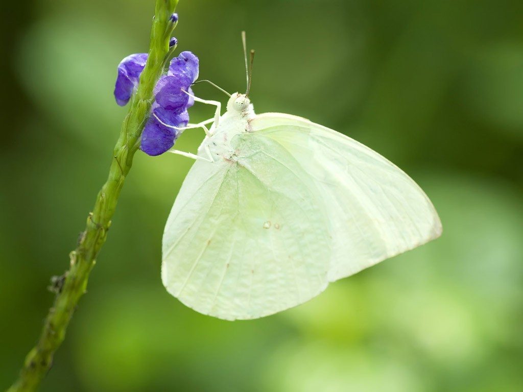 White butterfly wallpaper1